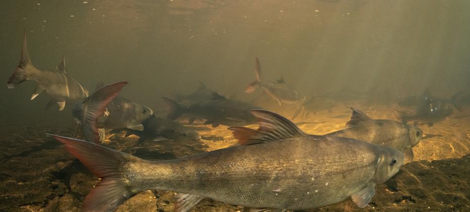 lowres-sandfish-migration-2-jeremy-shelt