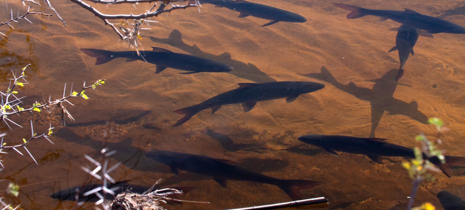 saving-sandfish-migration-acacia-otto-wh