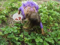 Strawberry Patch
