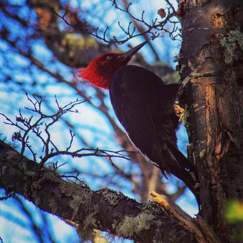 Male Magellanic Woodpecker near Punta Arenas, Chile