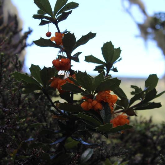 Calafate blossoms