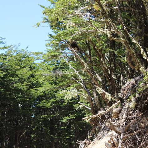 A Southern Crested Caracara or Carancho (Caracara plancus) perches in a tree
