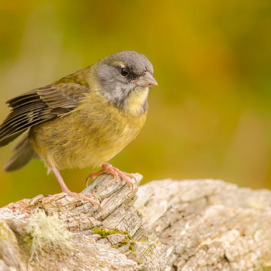 Patagonian Yellow Finch (Sicalis lebruni)