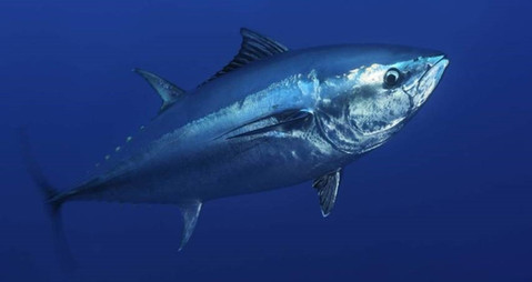 Better Tuna fisheries monitoring needed in the Pacific