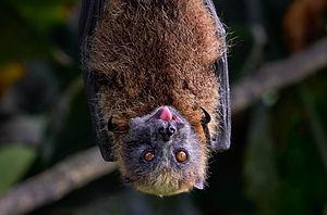 Flying_fox_©_Stuart_Chape.jpg