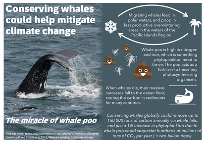 Conserving whales could help mitigate climate change