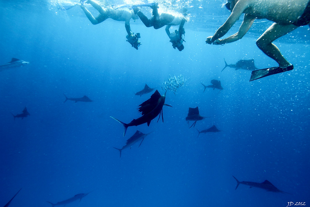 Swim with Sailfish in Mexico with Ceviche Tours