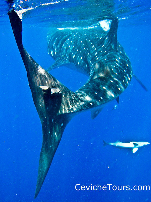 Swim with Whale Sharks Private Tour for 6-8 People