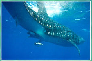 Swim with Whale Sharks - Per Person