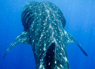 Dates Announced for 10th Annual Whale Shark Festival in Isla Mujeres