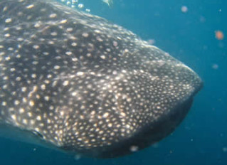 Whale Sharks Are Coming to Isla Mujeres