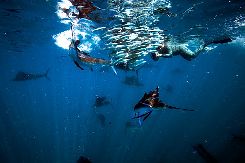 Swim with Sail Fish - Private Tour (max 6 people)