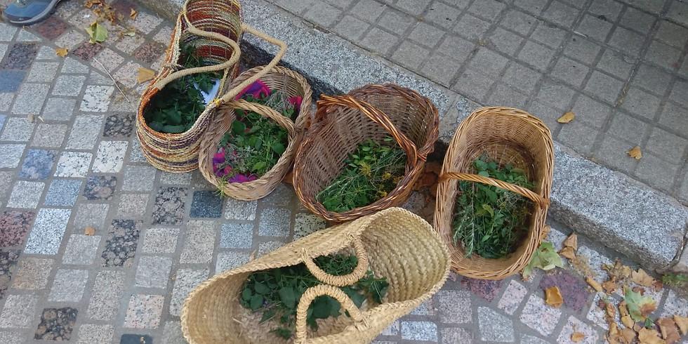 Recol·lectem herbes per a la nostra Ratafia (Alella)