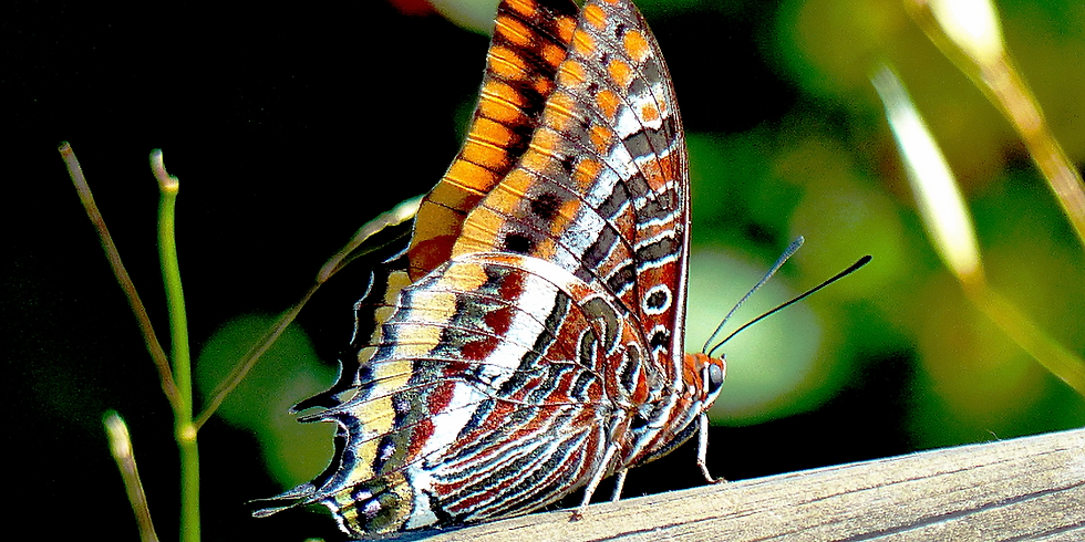 Distingim les papallones de la Serralada Litoral (Sta Agnés Malanyanes, La Roca del Vallès) - 2020