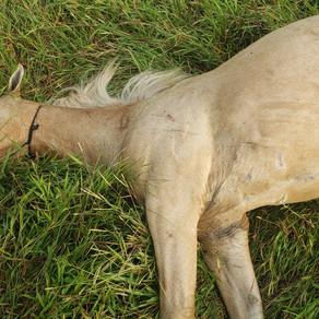 Nos intentaron robar un caballo, murio ahorcado, machetearon a otro.