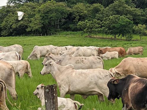Animales Comerciales para Carne