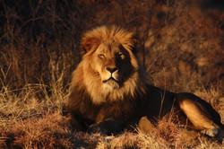 endangered wild life endangered animals endangered Lions endangered big cats endangered African Sava