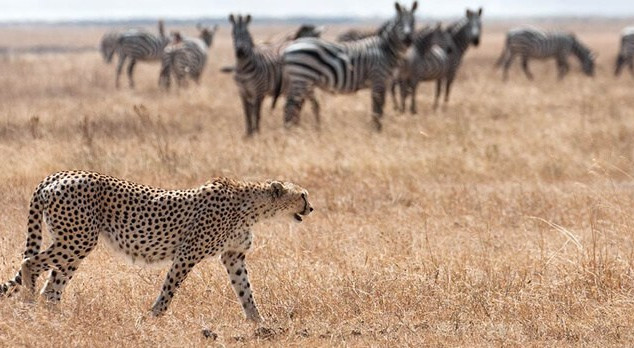 kidepo-leopards.jpg
