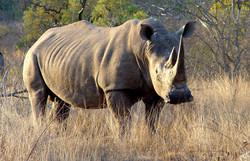 rhinoceros_1