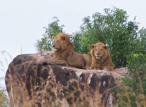 kidepo lions.jpg