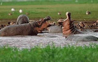 hippos QE.jpg