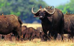 animals-buffalo-hd-photo-download