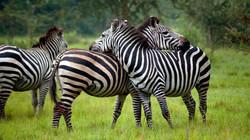 Zebra-Lake-Mburo-National-Park-Uganda-Safari