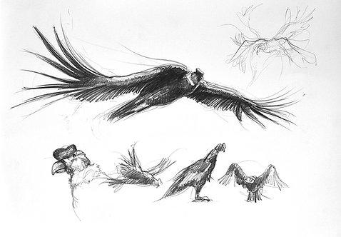 Pérou, le Condor (30 x 40 cm)