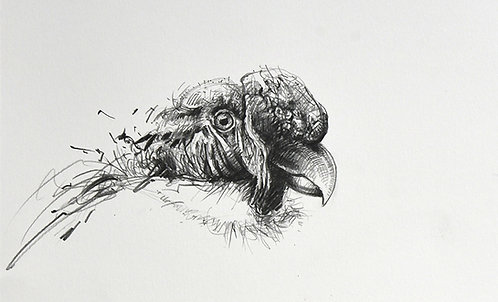 Pérou, Tête de Condor (15 x 23 cm)
