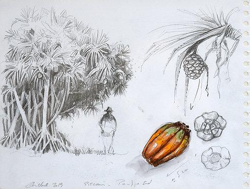 Polynésie, Pandanus à Pitcairn (40 x 30 cm)