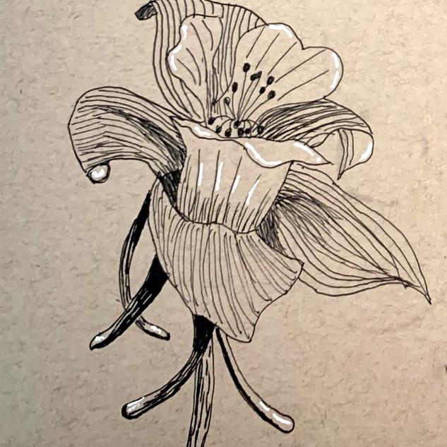 Columbine-Quick Sketch