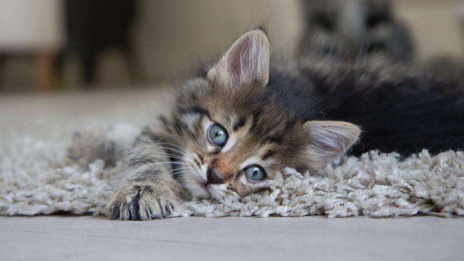 Les chats sibériens sont-ils heureux en appartement? Sans accès à l'extérieur?