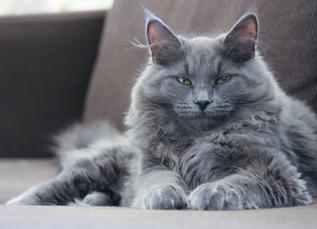 Parmi toutes les races, pourquoi choisir le chat Sibérien ?