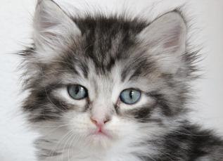 Vous allez bientôt accueillir votre chaton? Voici quelques conseils pour l'aider à s'adapter