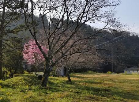 近所の桜が一分咲き♡