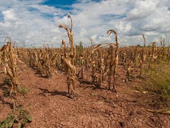 Seguro Rural garante indenizações das perdas nas lavouras de soja e milho safrinha no Mato Grosso