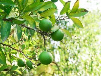 Seguros agrícolas para frutas serão avaliados em videoconferência do Mapa