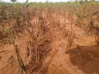 RS: colheita chega a 39% e perdas por seca vão ficando maiores, diz Emater