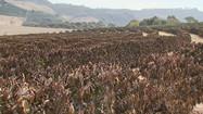 Geada destrói plantações de café