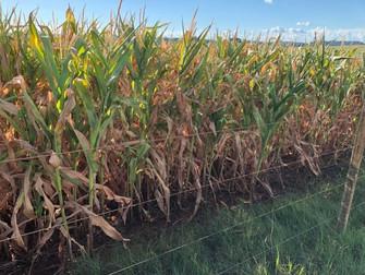 Produtores de milho já acionam seguro por perdas na safrinha