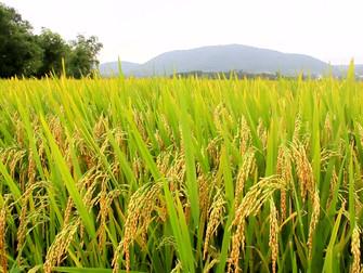 Mais de 50% do arroz semeado na região de Restinga Seca (RS) já foi perdido