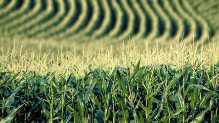 Geadas causam perdas bilionárias na safra de milho e encarecem alimentos