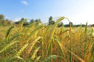 Zoneamento agrícola de risco climático da Cevada é publicado