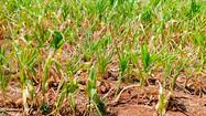 Seca causa quebra de 20% na safra de grãos e redução de 40% na produção de leite de SC