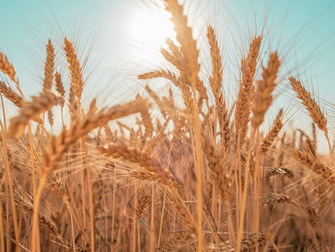 Mapa publica novo zoneamento agrícola do trigo