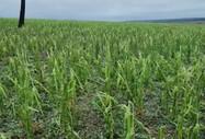 Granizo danificou mais de 7,5 mil hectares de milho em regiões de MS