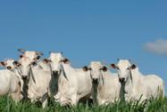 MT: Seguro Rural ainda é assunto embrionário na bovinocultura