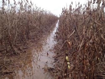 Produtores de soja já perderam 50% devido ao excesso de chuva