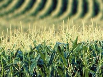 Produtores de Mato Grosso vendem milho de 2019 no embalo da alta de preço por seca