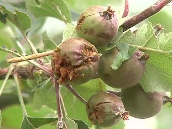 Granizo atinge pomares de maçã no Sul
